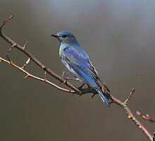 Mountain Bluebird by Martin Smart