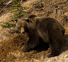 Grizzly watching by chwells