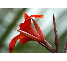 Canna Red Photographic Print