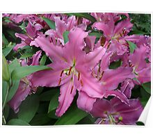 bright pink asiatic lilies Poster