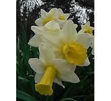 daffodils on line Photographic Print