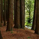 Californian Redwoods, Otway Ranges,Victoria by Joe Mortelliti