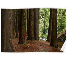Californian Redwoods, Otway Ranges,Victoria Poster