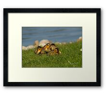 Ducklings in the Grass Framed Print