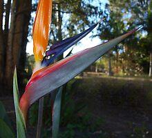 Bird of Paradise Beauty by Kylie Van Ingen