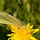 Green veined white butterfly by Jon Lees