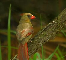 Female northern cardinal by miradorpictures