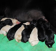 Tita's puppies by Janet Houlihan