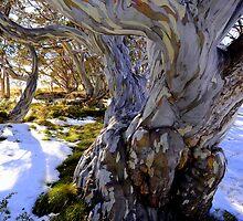 Alpine Eucalypt  by helmutk