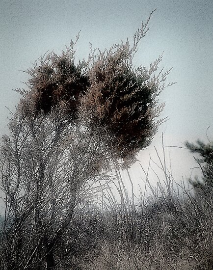 Winter Cedar by RC deWinter