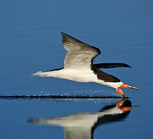 Black Skimmer #3 by David Orias
