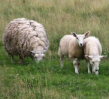 Lambs In A Field by HALIFAXPHOTO