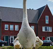 MUTE SWAN POSTING  ON THE ROAD SIDE by Johan  Nijenhuis