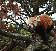 Red Panda by Tabita Harvey