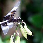 Dragonfly by Lolabud