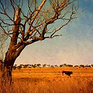 Cattle Country - Uralla, Northern Tablelands, NSW, Australia by Kitsmumma