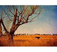 Cattle Country - Uralla, Northern Tablelands, NSW, Australia Photographic Print