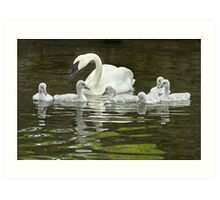 Trumpeter Swan and Cygnets Art Print