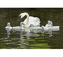 Trumpeter Swan and Cygnets Photographic Print