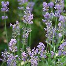Kathy's lavender by JenniferJW