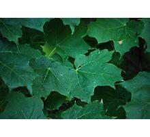 Mid-Summer Maple Photographic Print