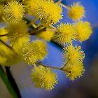 Golden wattle - Australia's floral emblem by gamaree L