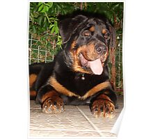 Rottweiler Paws Poster