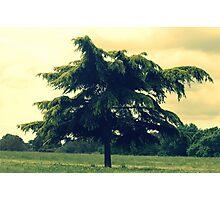 A fir tree Photographic Print