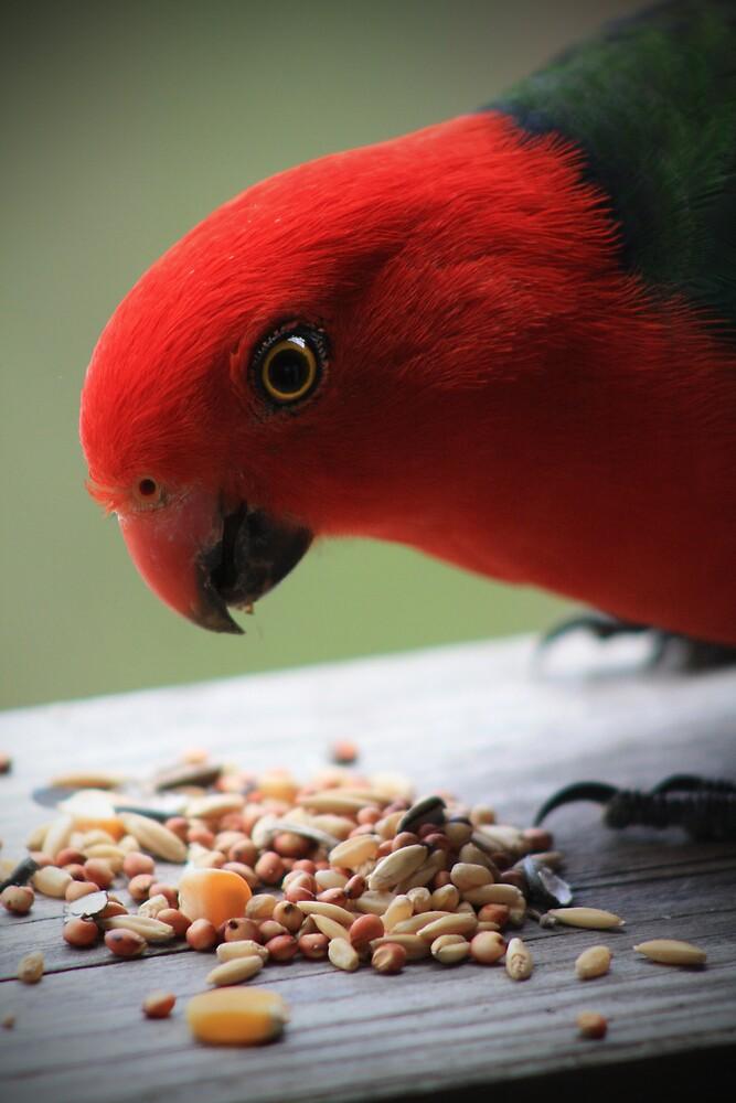 Australian King Parrot by Michael Stocks