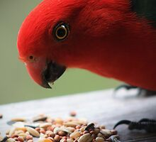 Australian King Parrot by Michael Stocks