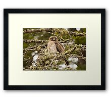 Juvenile Sharp-shinned Hawk  Framed Print