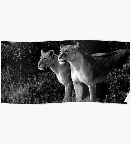 Lions of the Masai Mara Poster