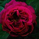 Rosa Apassionata by EvaBridget