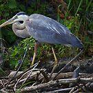 Heron by Jane Best