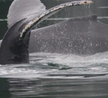 Humpback Whales in Motion Sticker