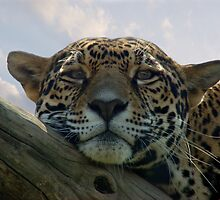 Beautiful Jaguar by Sandy Keeton