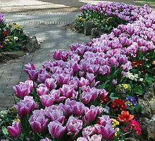 Purple Tulip Path by Leane Stitzinger