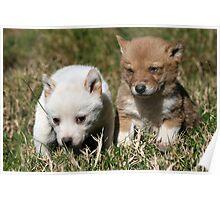Dingo Puppies # 2 Poster