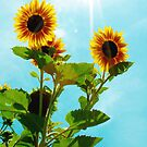 Sunflower by Zolton