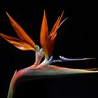 Strelitzia - bird of paradise by John  Cameron