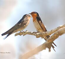 Welcome Swallows pair on a branch  by John  Cameron