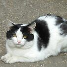 White Cat with Black Patches by BlueMoonRose