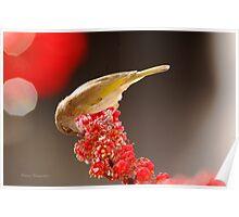 brown honey eater lunching on red flower  Poster