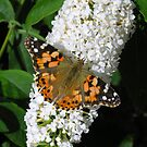 Painted Lady butterfly (Vanessa cardui) on white butterfly bush (buddleia) (1) by Philip Mitchell