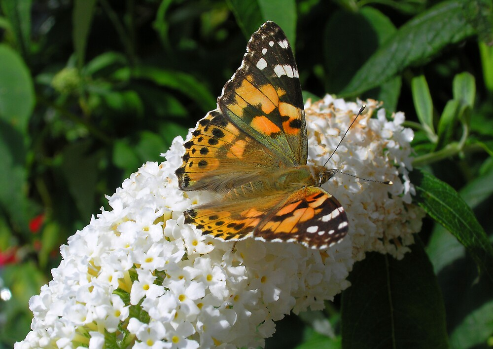 Painted Lady butterfly (Vanessa cardui) on white butterfly bush (buddleia) (2) by Philip Mitchell