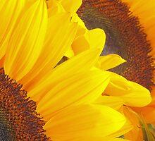 Big and Beautiful Sunflowers by Welshpixels