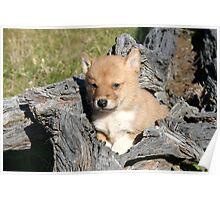 Dingo pup #  3 Poster