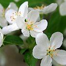Ornamental Apple Blossoms by Geno Rugh