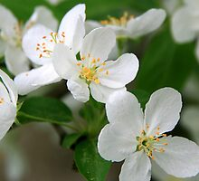 Ornamental Apple Blossoms by Geno Rugh