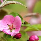 Blossom of an Oriental Cherry Tree by Geno Rugh